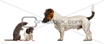 Dachshund looking at mouses, isolated on white