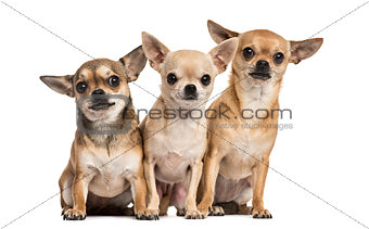 Three chihuahuas sitting, isolated on white