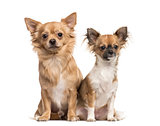 Two chihuahuas sitting, isolated on white