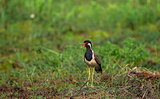 Bird Call Lapwing