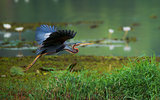 Purple heron flying around