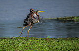 Purple heron taking off