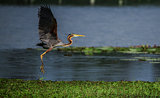 Purple Heron Landing