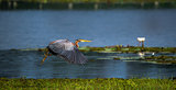Purple Heron with open wings