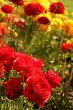 Red Ranunculus in Garden