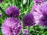 Chives IV
