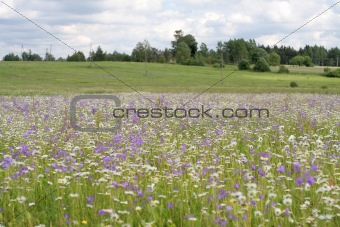 Daisy and bluebell field