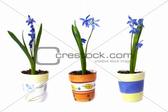 Three flowerpots with snowdrops