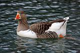 Swimmig Goose