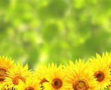 Sunflowers on blurred green background