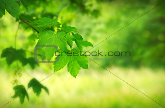 Green maple leaves over blurred foliage background.