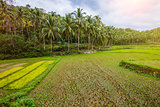 Rice field on Bohol, Philippines