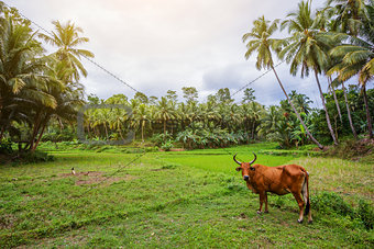 Rice field on Bohol, Philippines