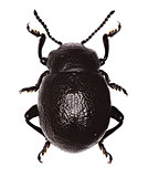 Bloody-Nosed Beetle on white Background  -  Timarcha montana (Fairmaire, 1873)