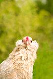 Antwerp hen staring