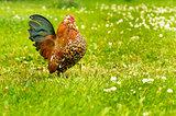 Antwerp rooster beauty