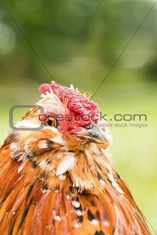Antwerp rooster portrait