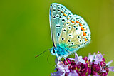 common blue, Polyommatus icarus,  on an oregano flower