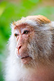 Monkey face close-up on nature background