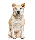 Shiba Inu sitting, isolated on white