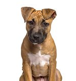 Close-up of American Staffordshire Terrier puppy , isolated on w