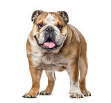 English bulldog standing and panting, isolated on white