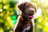 Labrador Retriever puppy with bokeh sunset