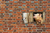 pig looks out from window of shed on the brick wall