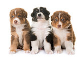 puppies australian shepherd