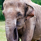Head of elephant (Asian or Asiatic elephant)