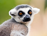 Head of ring-tailed lemur (Lemur catta)