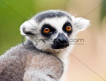 Head of ring-tailed lemur (Lemur catta)