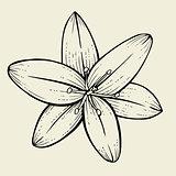 Hand drawn Lily flower