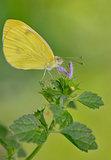 Sulphur Phoebis Agarithe Butterfly