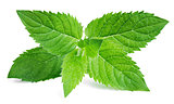 Fresh raw mint leaves on white