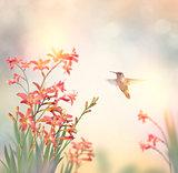 Crocosmia Flowers and a hummingbird