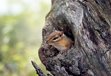Chipmunk peeks from a tree hole