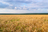 Landscape of Golden field