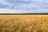 Landscape of Golden field