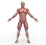 Male muscular system