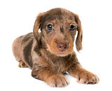puppy Wire-haired Dachshund