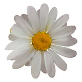 Colorful naturalistic beautiful chamomile on White Background. V