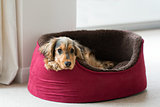 English Cocker Spaniel in Dog Bed