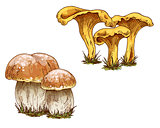 Mushrooms orange cap boletus and chanterelles isolated on white background. Vector Illustration