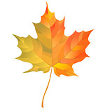 Autumn maple leaf isolated on white background. Vector Illustration