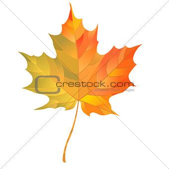 Autumn maple leaf isolated on white background. Vector Illustration