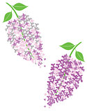 Vector lilac flowers