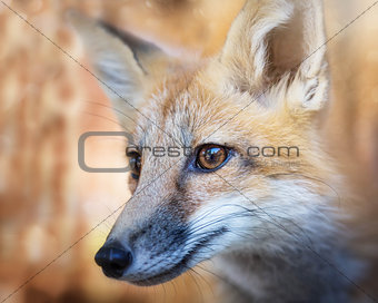 Kit Fox Portrait