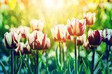 Tulips in rim light