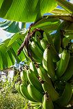 Banana tree detail, easter island